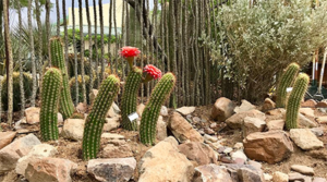 Lawn time ago: Tucson saves water with desert landscaping, synthetic grass