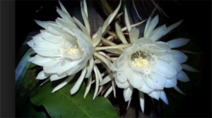 Sign up to view night-blooming cereus in action